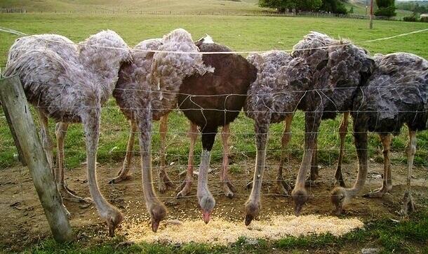 африканский страус чем питается-2