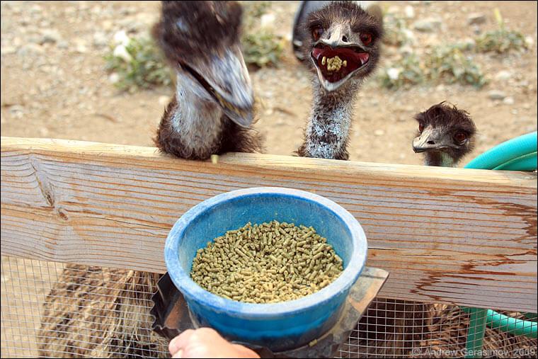 Какими продуктами питаются страусы?