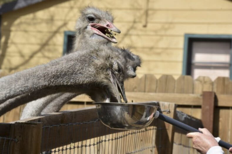 африканский страус чем питается