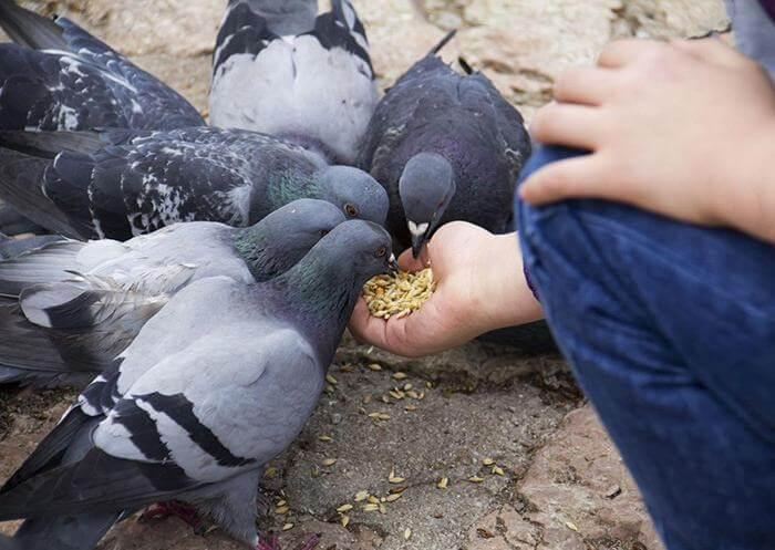 болезни голубей и их лечение-3