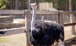 болезни страусов и их лечение-2