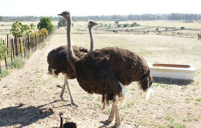 болезни страусов и их лечение-3