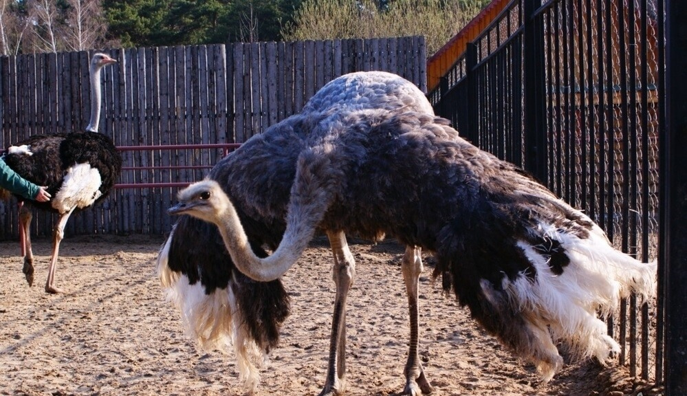 болезни страусов и их лечение-4
