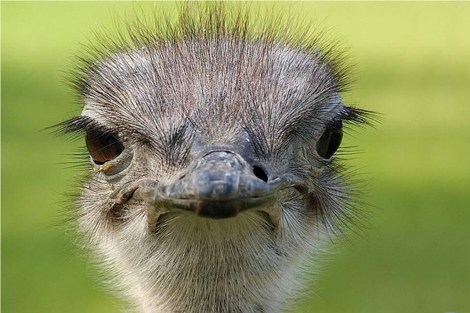 Распространённые болезни страусов и способы их лечения
