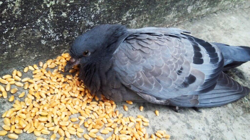 Чем кормить голубей зимой на улице-2