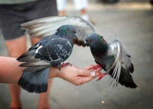 чем питается голубь-3