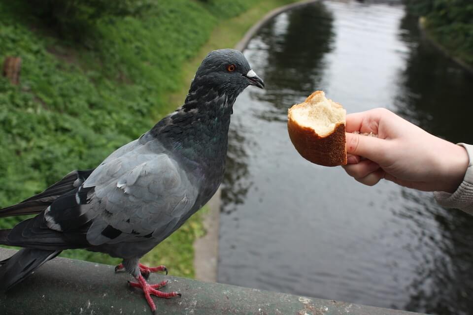 чем питается голубь-4