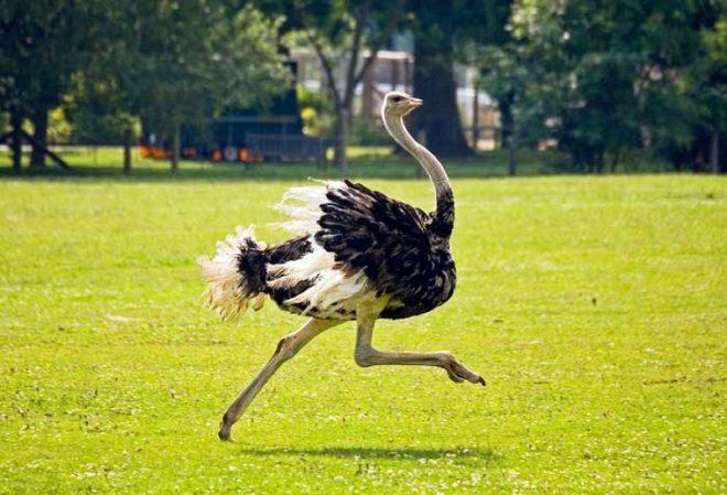 чем питаются страусы