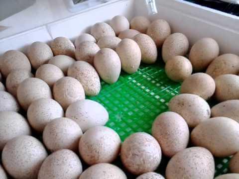 инкубация фазанов в инкубаторе-3