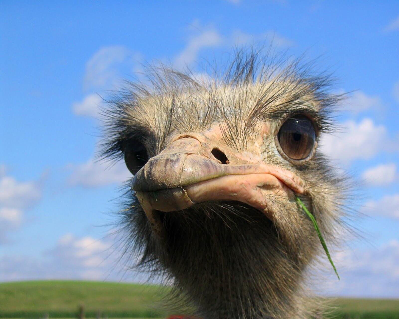 инкубация страусов-2