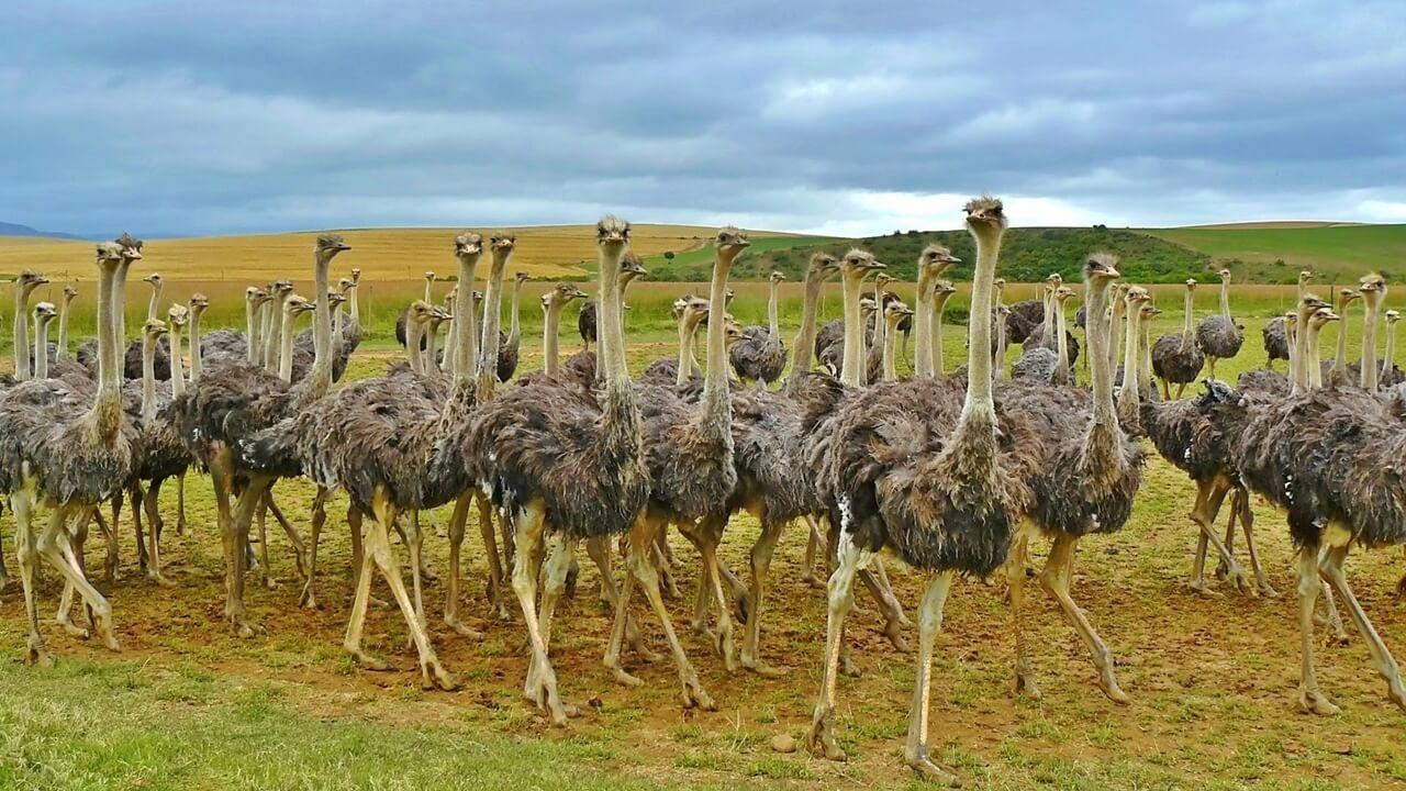инкубация страусов-4