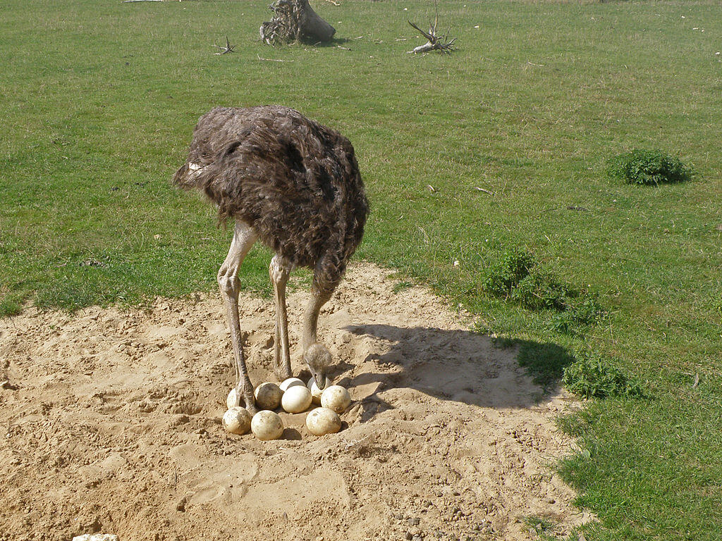 Правила инкубации яиц страусов в домашних условиях