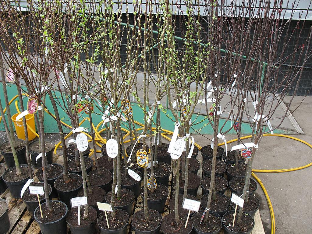 как сажать саженцы плодовых деревьев весной-4