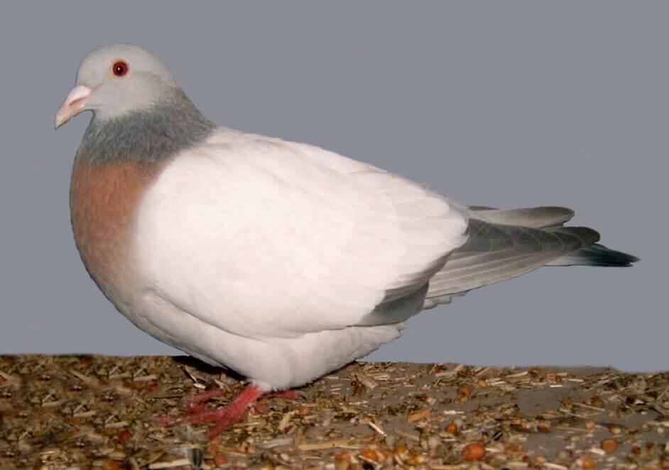 породы голубей с фотографиями и названиями-4