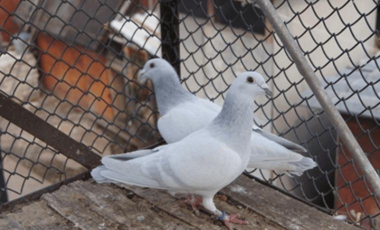 породы голубей с фотографиями и названиями-5