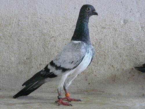породы голубей с фотографиями и названиями-6