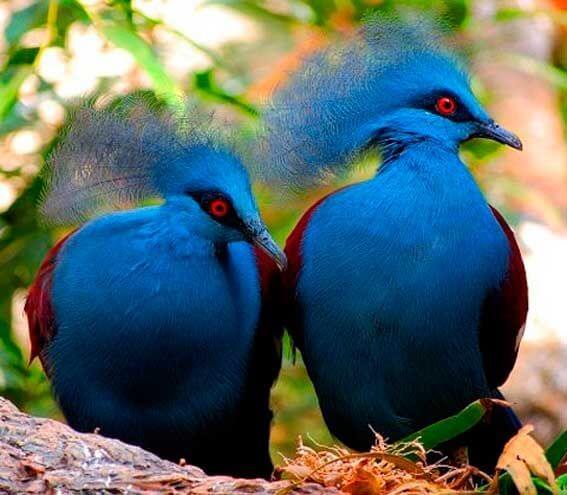 породы голубей с фотографиями и названиями-8