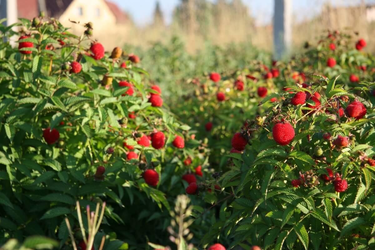 Как выращивать малину в домашних условиях?