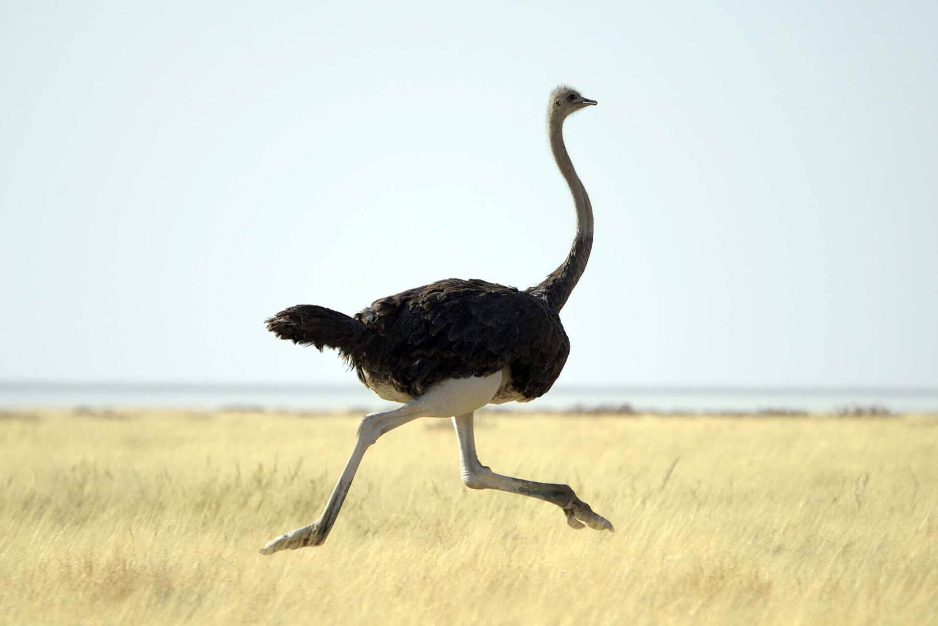 разведение страусов в домашних условиях для начинающих-2