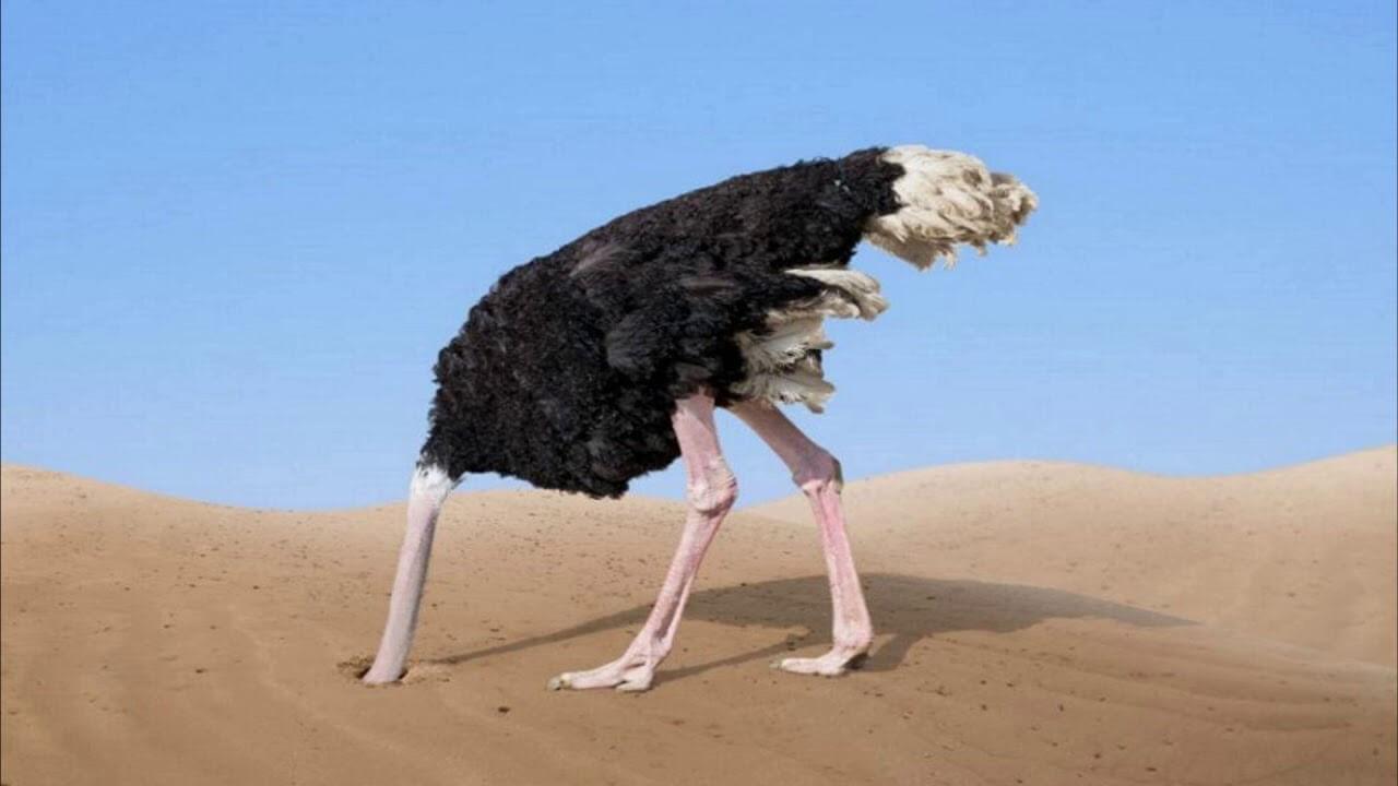 разведение страусов в домашних условиях для начинающих-3