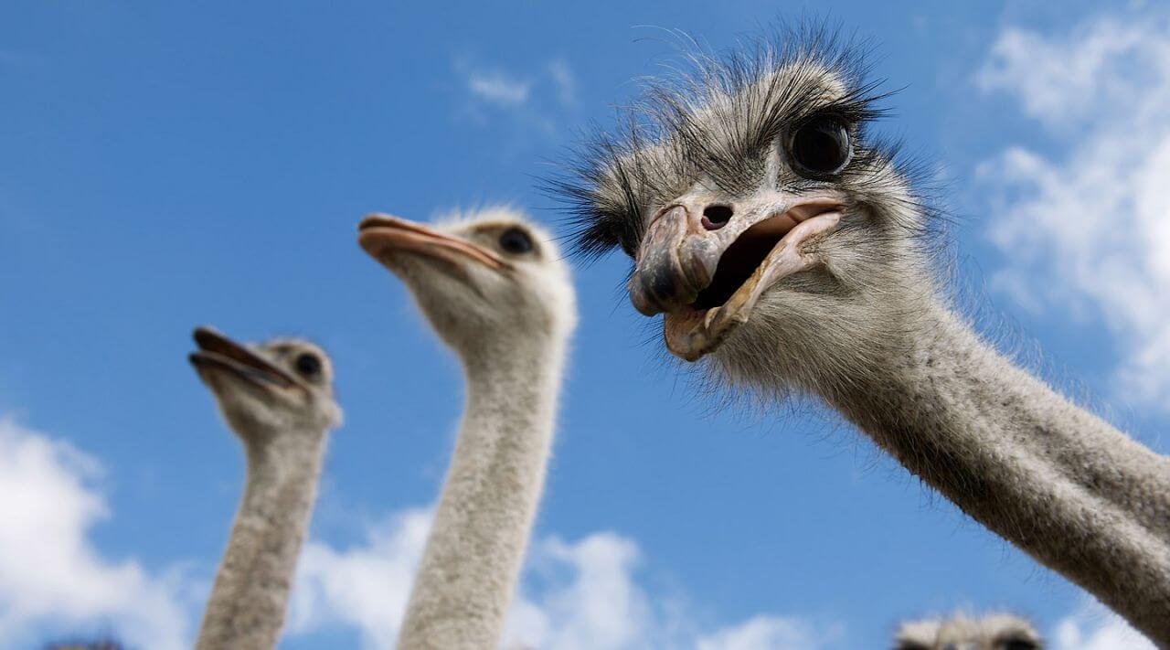 разведение страусов в домашних условиях для начинающих-4