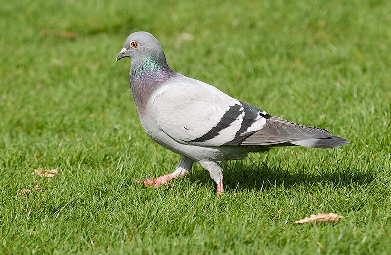Правила разведения и содержания голубей в домашних условиях