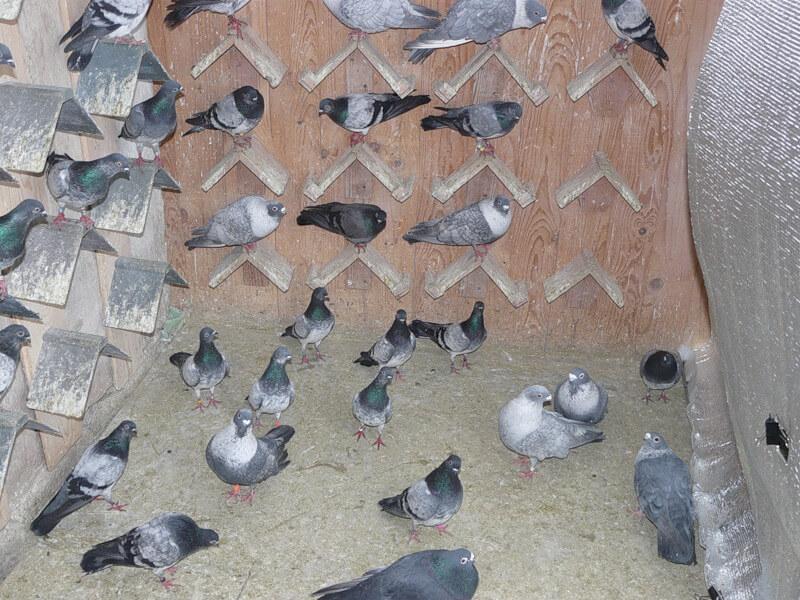 содержание голубей в домашних условиях-2