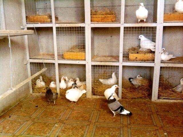 содержание голубей в домашних условиях-4