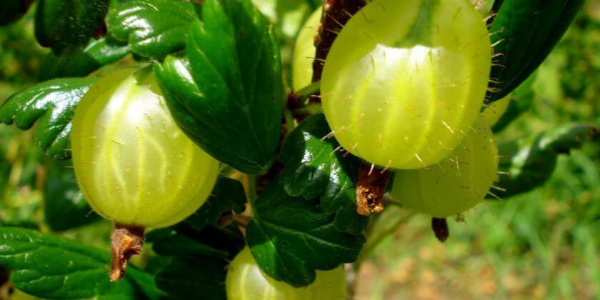 Правила ухода и выращивания крыжовника в домашних условиях