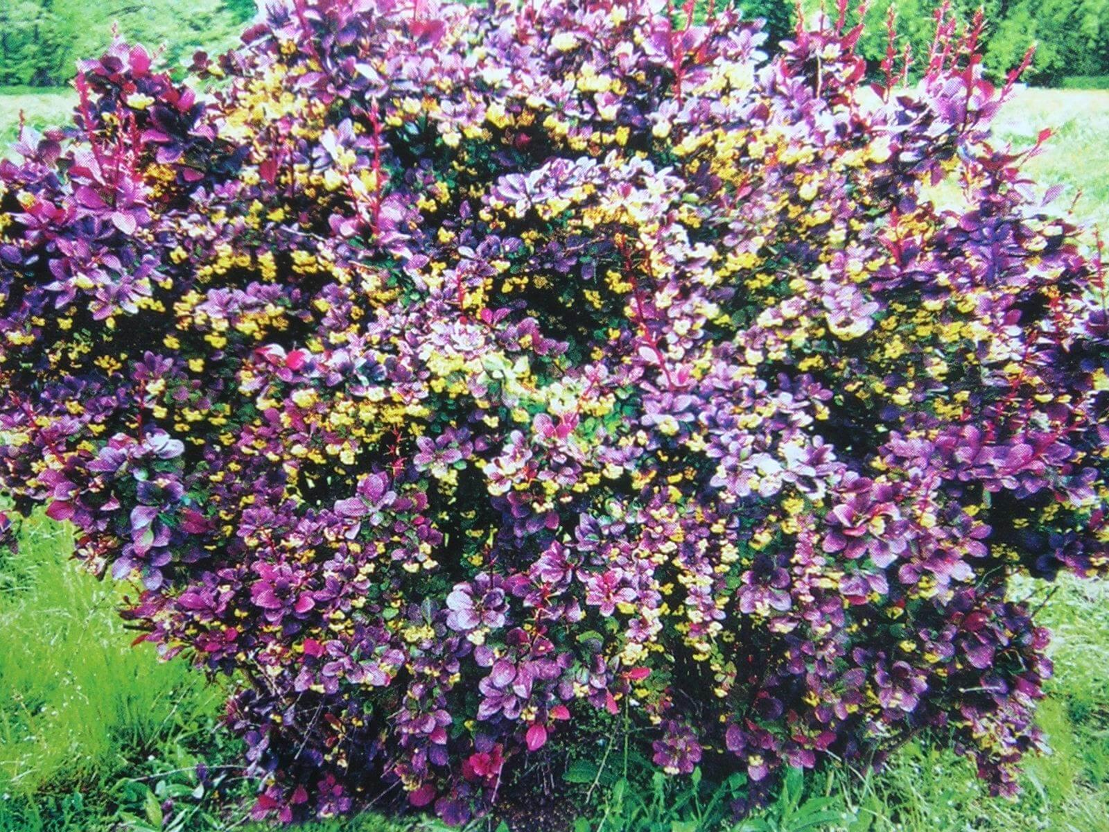 выращивание садовых кустарников-2