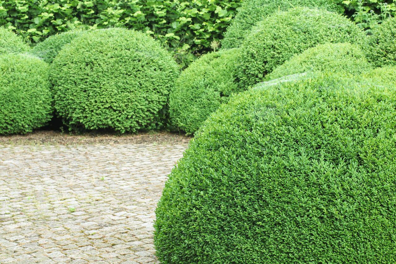 выращивание садовых кустарников