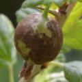 Что делать, если ягоды крыжовника чернеют?