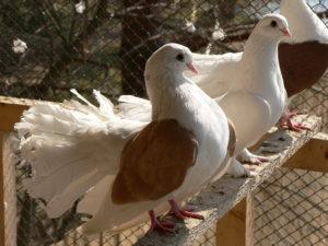 Разведение голубей в домашних условиях для начинающих