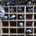 Домашние голуби: виды, правила ухода и разведения