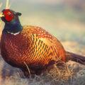 Правила лечения болезней фазанов