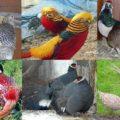 Породы и разновидности фазанов
