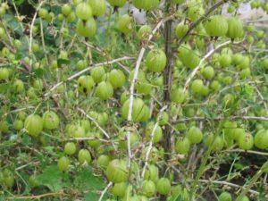 Гусеницы на крыжовнике объели листья - как бороться