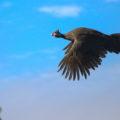 Умеет ли цесарка летать или нет?