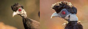 Виды африканских цесарок