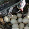 Что делать, если цесарка села на яйца?
