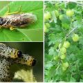 Как бороться с гусеницами на крыжовнике, которые объели листья?
