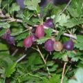 Как выращивать крыжовник грушенька?