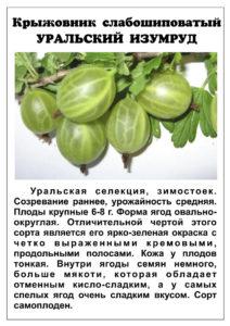 Описание крыжовника Уральский изумруд