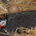 Сколько яиц несет цесарка?