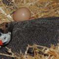Какое количество яиц несёт цесарка?