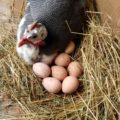 Сколько сидит цесарка на яйцах?