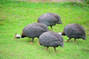 Содержание и размножение домашних цесарок