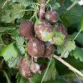 Что делать, если ягоды крыжовника покрылись коричневым налётом?