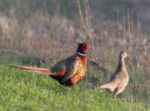 Характеристика фазанов