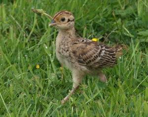 Выпускной фазан